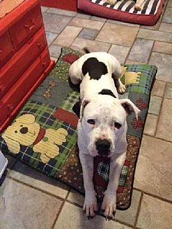 American Bulldog Mix Dog for adoption in Beverly Hills, California - Madison