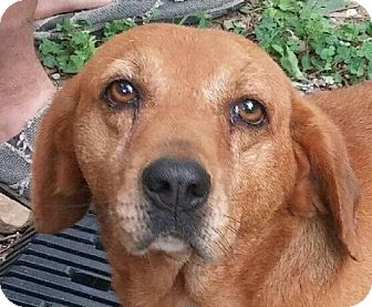 Beagle/Basset Hound Mix Dog for adoption in Hagerstown, Maryland - BoBo