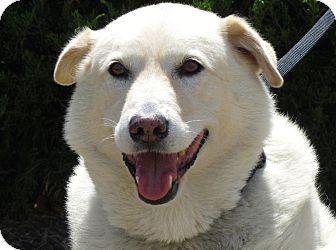 Labrador Retriever/Chow Chow Mix Dog for adoption in Overland Park, Kansas - Buddy