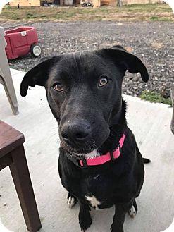Labrador Retriever Mix Dog for adoption in Xenia, Ohio - Izzy