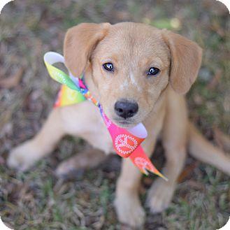 Labrador Retriever Mix Puppy for adoption in Denver, Colorado - Val
