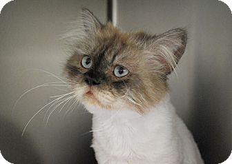 Himalayan Cat for adoption in Lunenburg, Massachusetts - Tommy