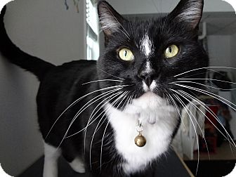 Domestic Shorthair Cat for adoption in Kalamazoo, Michigan - William