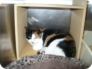 Calico Cat for adoption in Colmar, Pennsylvania - Karlee