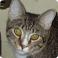 Domestic Shorthair Cat for adoption in Jacksonville, North Carolina - Alfie