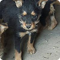 Adopt A Pet :: Scruffy Puppy - Fowler, CA