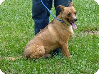 Black Mouth Cur/Labrador Retriever Mix Dog for adoption in Slidell, Louisiana - Bobo
