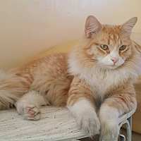 Domestic Mediumhair Cat for adoption in San Fernando Valley, California - Prince William