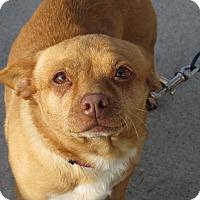 Adopt A Pet :: Amber - Meridian, ID