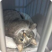 Domestic Shorthair Kitten for adoption in Kinston, North Carolina - Penelope