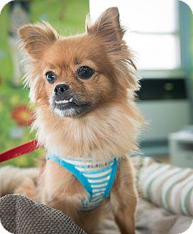 Pekingese/Chihuahua Mix Dog for adoption in New York, New York - Haley