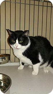 Domestic Shorthair Cat for adoption in Morris, Illinois - WILLOW