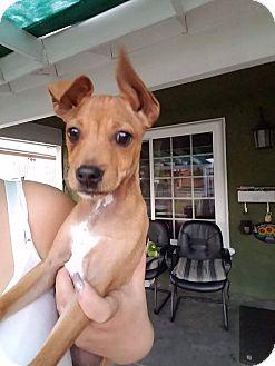 Basenji Mix Puppy for adoption in Monrovia, California - Rudy