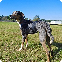 Catahoula Leopard Dog/Hound (Unknown Type) Mix Dog for adoption in St. Francisville, Louisiana - Tootsie