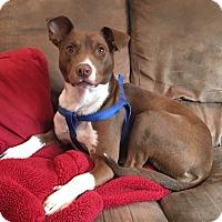 Adopt A Pet :: Thea - Saddle Brook, NJ
