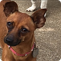 Adopt A Pet :: Lulu - Rochester, NY
