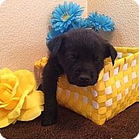 Adopt A Pet :: Bailey - Inglewood, CA