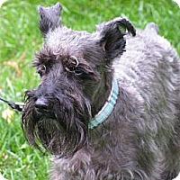 Adopt A Pet :: Spock - Rigaud, QC