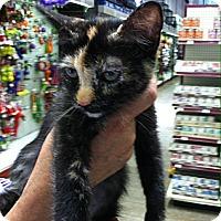 Adopt A Pet :: Hermonie - Santa Monica, CA