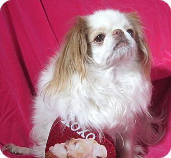 Japanese Chin Dog for adoption in Aurora, Colorado - Tiki