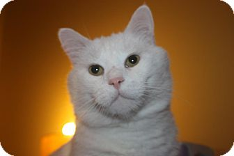 Domestic Shorthair Cat for adoption in Little Falls, New Jersey - Asher (LE)