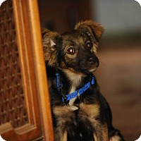 Adopt A Pet :: Taffy - North Bend, WA