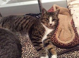 Domestic Shorthair Cat for adoption in Hamilton., Ontario - Cosby