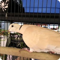 Adopt A Pet :: Dove - Punta Gorda, FL