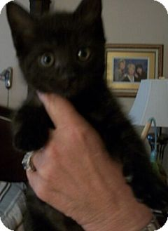 Domestic Shorthair Kitten for adoption in Reston, Virginia - Cavier