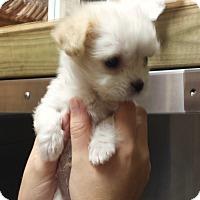 Adopt A Pet :: Tiny Tim - Kingwood, TX