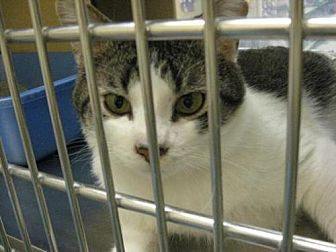 Domestic Shorthair Cat for adoption in Logan, Utah - Kozmos