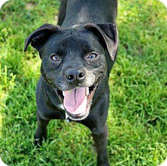 Pug Mix Dog for adoption in Killeen, Texas - Fidget