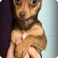 Adopt A Pet :: Pip - Muskegon, MI
