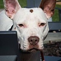 Pit Bull Terrier Mix Dog for adoption in alexandria, Virginia - Robyn
