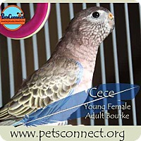 Adopt A Pet :: Cece - South Bend, IN