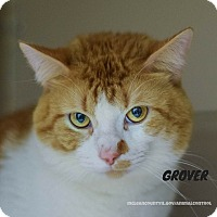 Domestic Shorthair Cat for adoption in Hanna City, Illinois - Grover