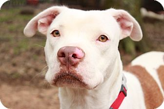 Boxer/American Staffordshire Terrier Mix Dog for adoption in Pittsburgh, Pennsylvania - Savannah
