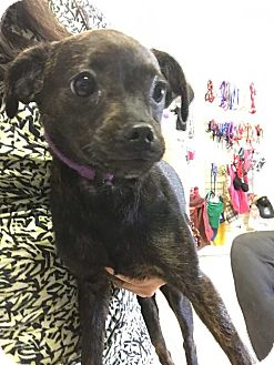Chihuahua/Pug Mix Dog for adoption in Mesquite, Texas - Molly
