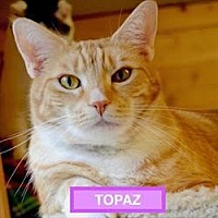 Domestic Shorthair Cat for adoption in Waxhaw, North Carolina - Topaz