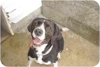 Springer Spaniel Mix Dog for adoption in Lake Odessa, Michigan - Addie