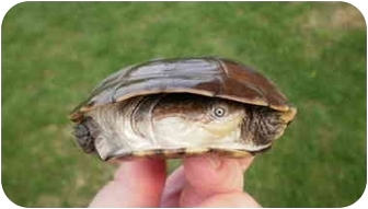 Turtle - Water for adoption in Baltimore, Maryland - African Helmeted