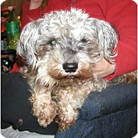 Adopt A Pet :: Mini Pups-NEED URGENT FOSTERS - Seattle, WA