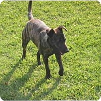 Adopt A Pet :: Baby - Flint (Serving North and East TX), TX