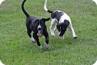 Labrador Retriever/Australian Cattle Dog Mix Puppy for adoption in Shaw AFB, South Carolina - Harley