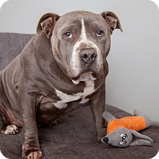 Pit Bull Terrier Mix Dog for adoption in Mission Hills, California - Gary