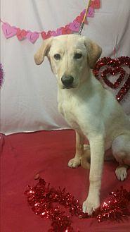 Labrador Retriever/Golden Retriever Mix Puppy for adoption in Detroit, Michigan - Kenny