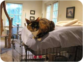 Domestic Shorthair Cat for adoption in Columbia, Maryland - CiCi