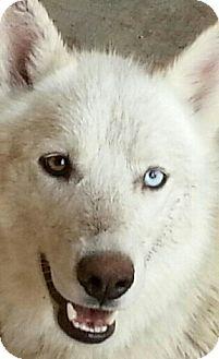 Siberian Husky Puppy for adoption in Apple valley, California - Poppy