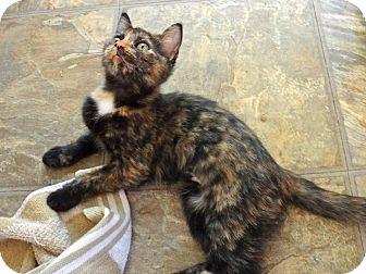 Calico Kitten for adoption in Escondido, California - Lovey