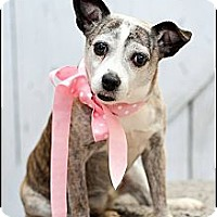 Adopt A Pet :: Sweetie - Hilliard, OH